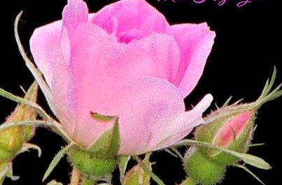 Finding His Presence ~ One Solitary Rose