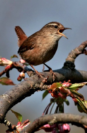 Like the wren, in my chosen  dwelling place I will sing with abandon.
