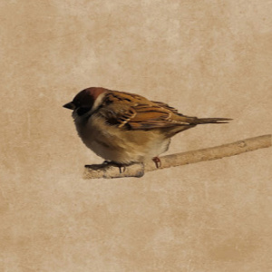 A sparrow waiting contentedly with the barren branches ripe for spring when all things are made new.