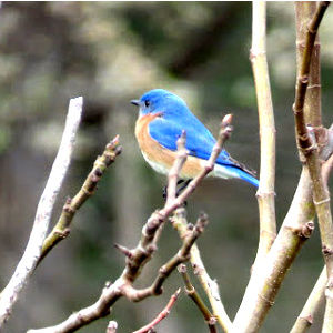 The glory of the bluebird on an oyster gray day turned my eyes toward Jesus.