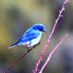 A bluebird, an unlikely comrade.