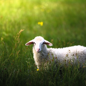 I want to be like a sheep that doesn't hesitate you follow you.